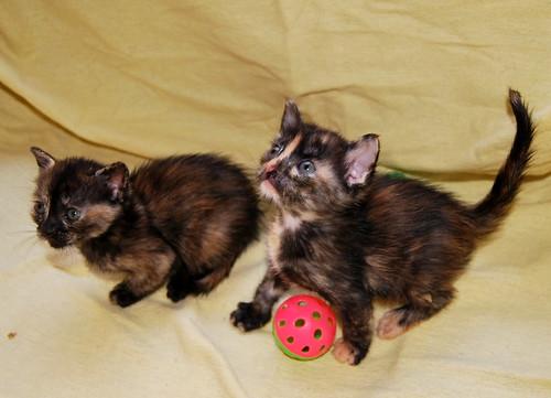 Narubi, gatita carey de cara bicolor amorosa esterilizada, nacida en Marzo´19, en adopción. Valencia RESERVADA. 47599741791_ba70b516e6