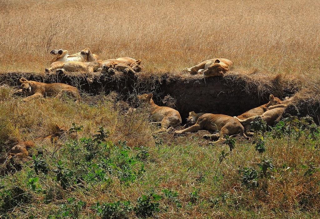 Tanzania (Ngorongoro) Sleeping lions after meal