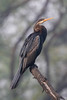 Indian darter (Anhinga melanogaster) by Ron Winkler nature