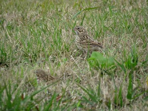 Vesper Sparrows | by Justin Lee (NoNameKey)