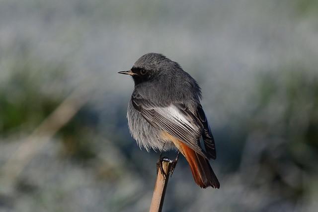 Black Redstart (Phoenicurus ochruros) - male