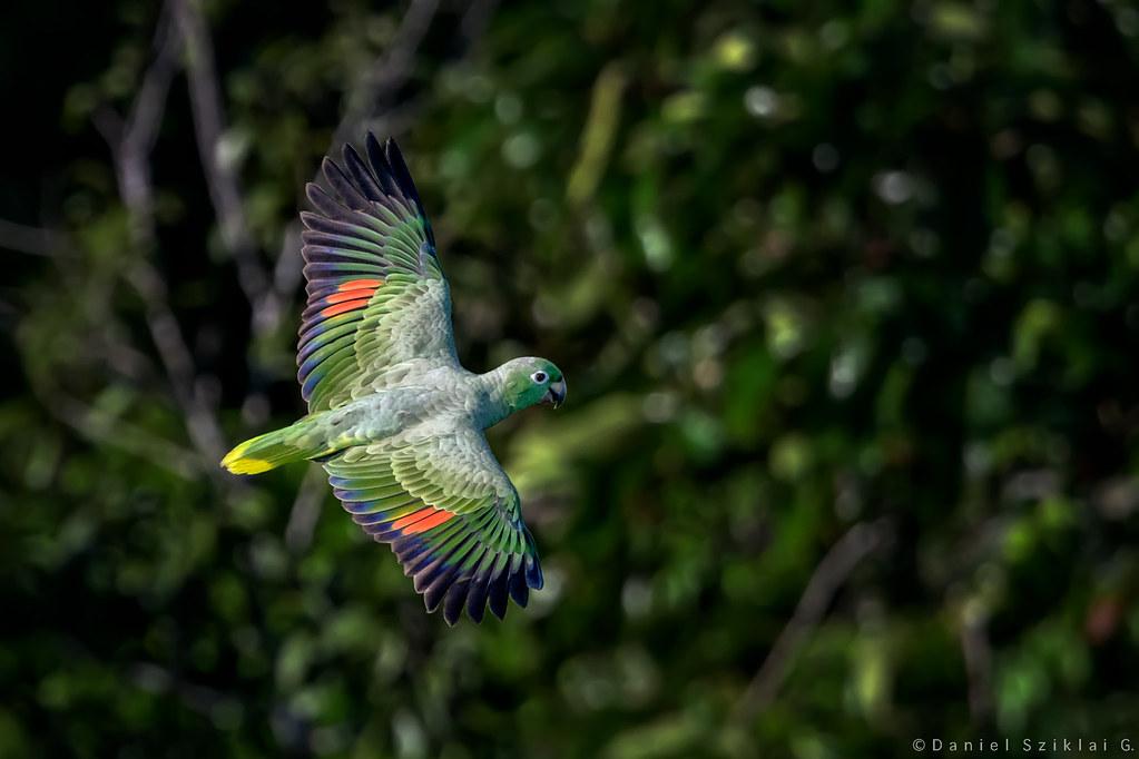 Yellow-crowned Amazon. Loro Real Amazónico. Amazona ochrocephala.