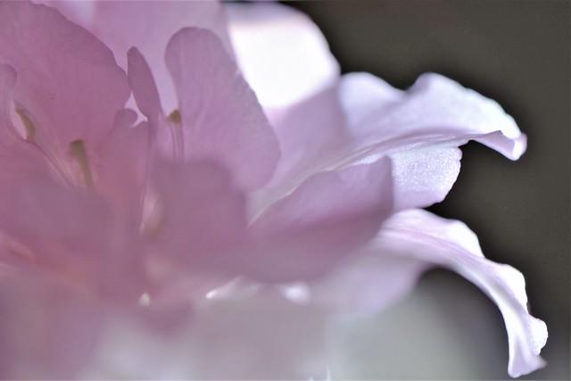 Azaleia in pink