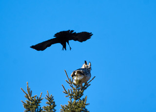 Eagle owl with crows 1