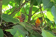 010 Baby birds in nest Greensboro, NC