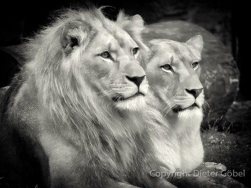 Löwen Paar