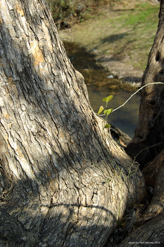 old tree at the creek | by pvh photo