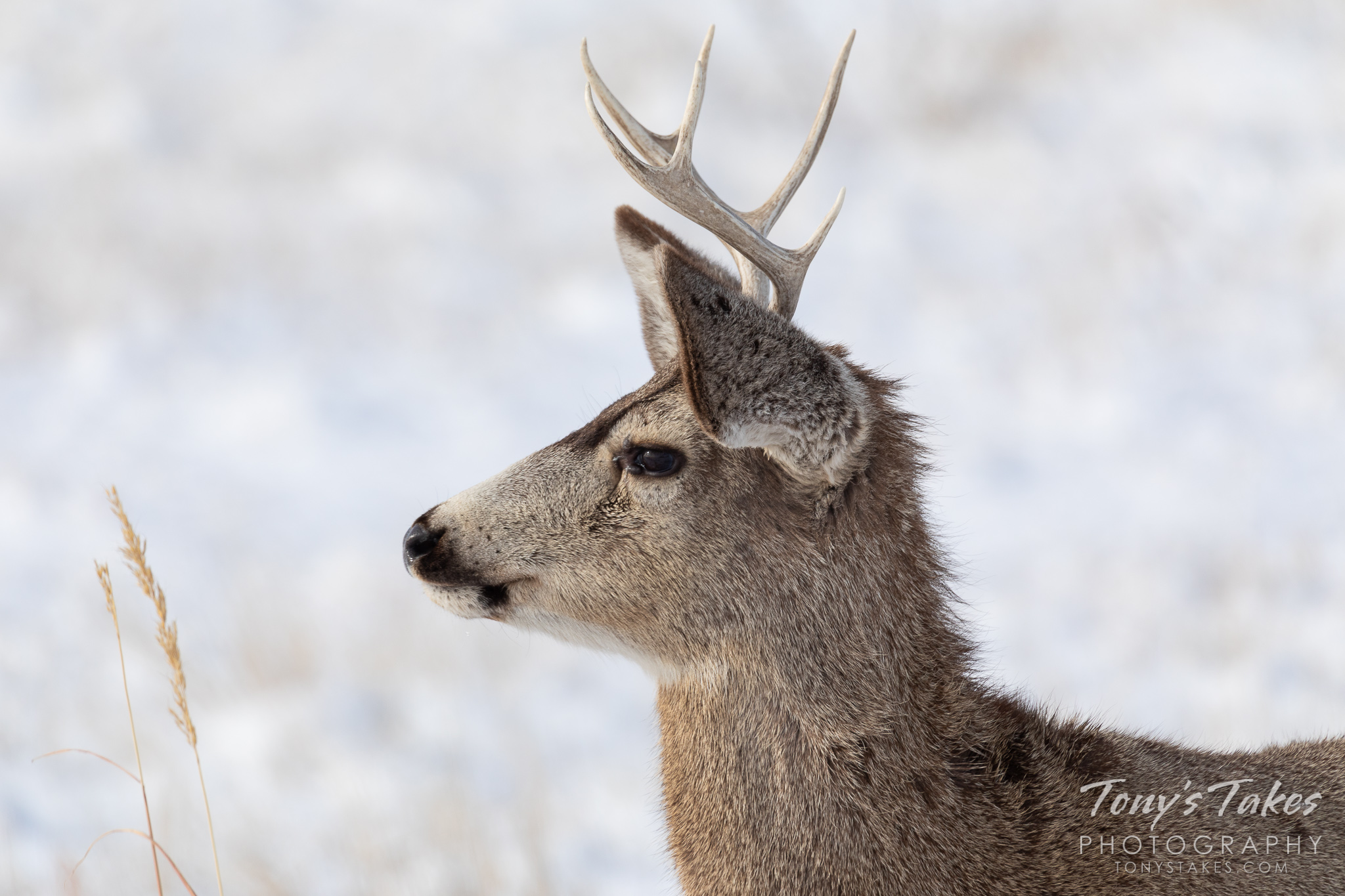 A young mule deer buck keeps watch on nearby coyotes. (© Tony's Takes)