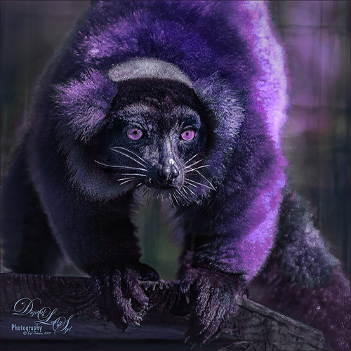 Image of a purple Red Ruffed Lemur