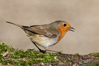 Robin   by Mike.Pursey