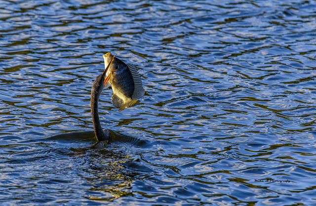 Dinner time..Anhinga dinner