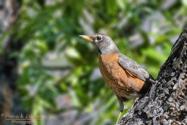 American Robin looking for berries - Explore