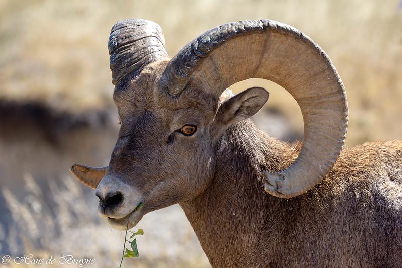 Bighorn sheep in Badlands NP