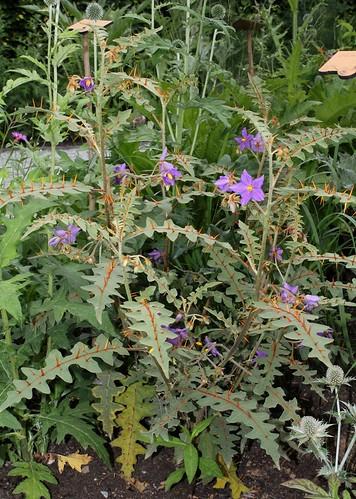 Solanum pyracanthum 46489695892_6095204e61