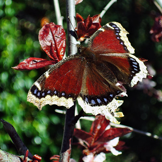 Mourning Cloak | by Bigadore