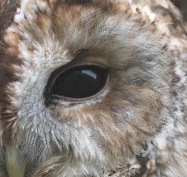 Tawny Owl (Strix aluco) 0055