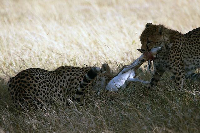 Successful hunt, cheetahs with Thomson's gazelle, Piaya Serengeti, Tanzania