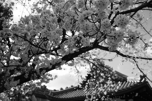 03-04-2019 Tonda, Takatsuki, Osaka pref (16)