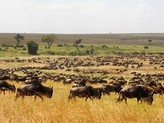 Migration in Serengeti close to our lodge | by Beach & Safari Holidays