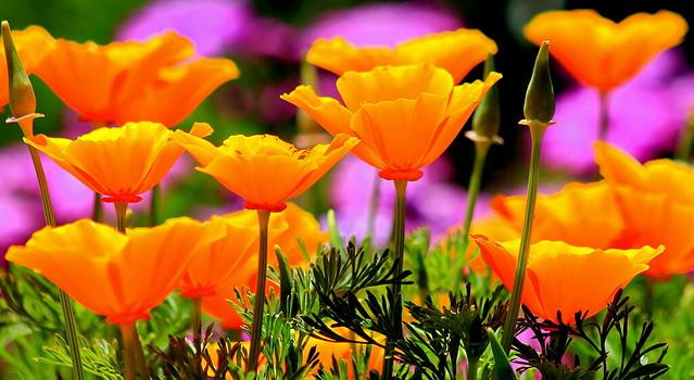 Orange poppies in the garden ☀️