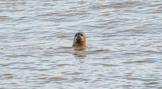 The female Seal