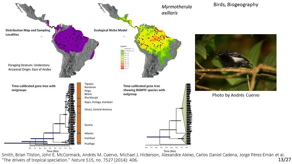 Smith et al. 2014 - Myrmotherula axillaris