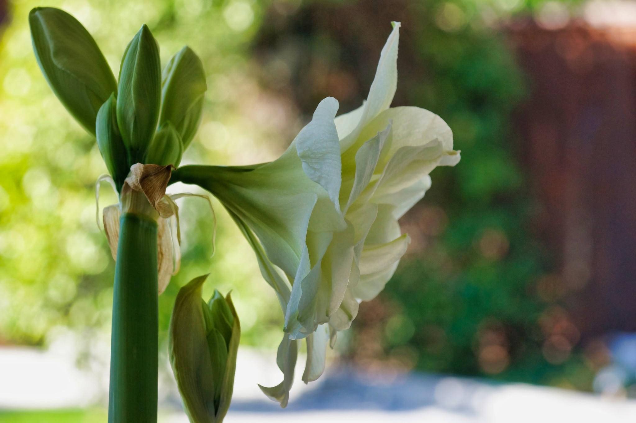 2019-03-08 - Nature Photography - Flowers - Amaryllis