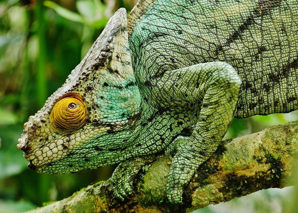 Parson's Chameleon (Male) (Calumma parsonii) Portrait