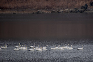 Tundra swans | by estanley1987