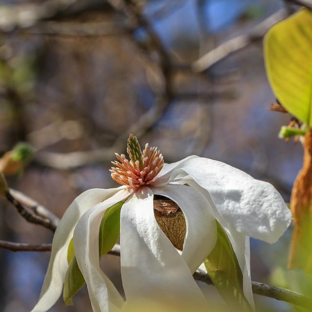 ATL Botanical - Magnolia (2247)