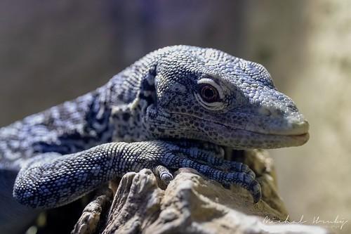 Varan modrý (Varanus macraei) | by Michal Hruby Photography