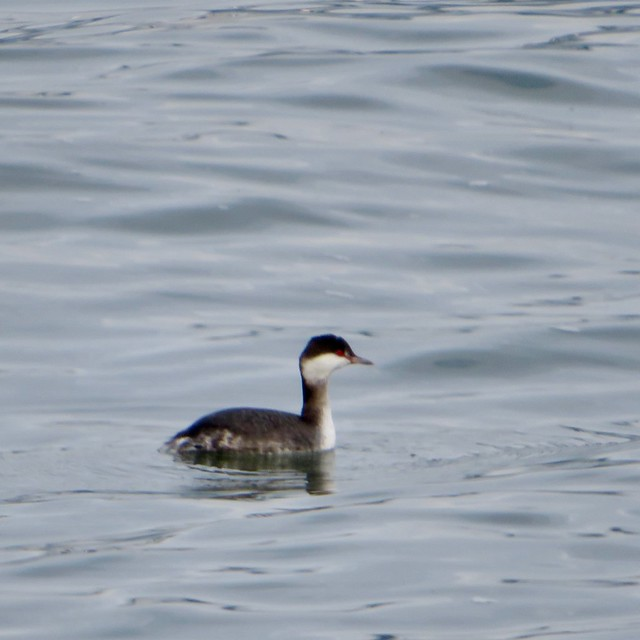 Immature Horned Grebe