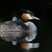 Great Crested Grebe by Nigel Hodson