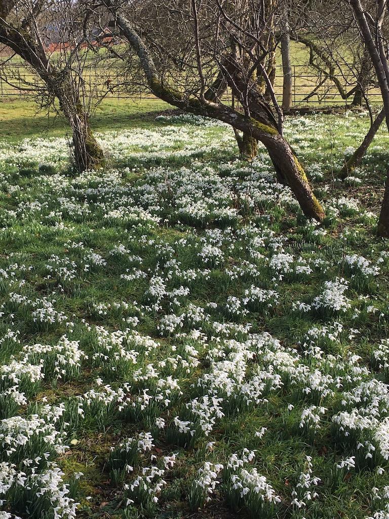 Snowdrops Deane Overton Circular walk