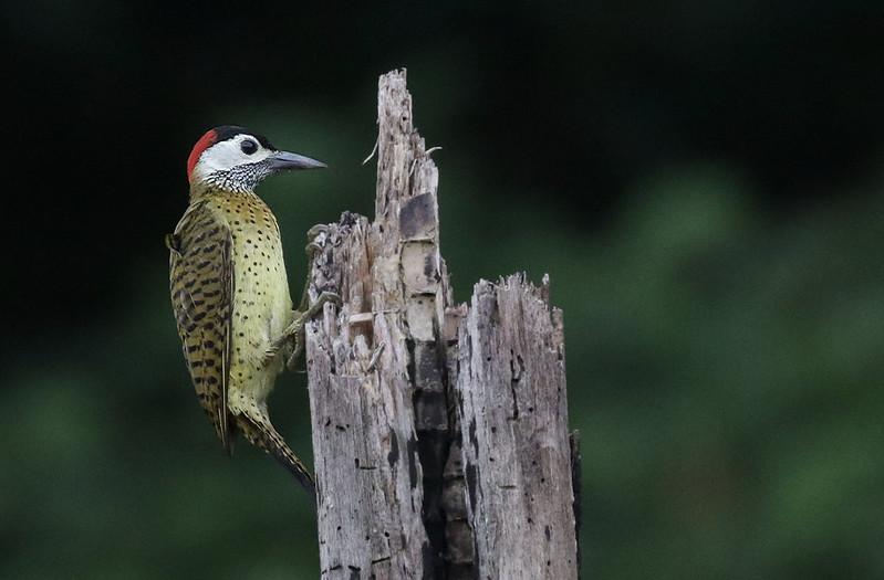 Spot-breasted Woodpecker, Colaptes (Chrysoptilus) punctigula Ascanio_Amazon Cruise 199A8567