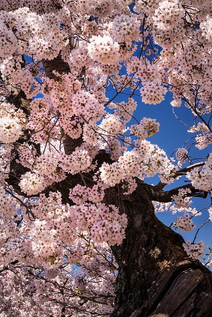 Cherry Tree 3-0 F LR 1-0 4-4-19 J045