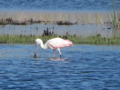 Roseate Spoonbill, St Marks NWR, Florida, 3/10/2019