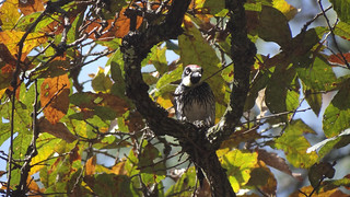 acorn woodpecker, Universidad Francisco Marroquín, Guatemala City | by Rick Wright, Victor Emanuel Nature Tours