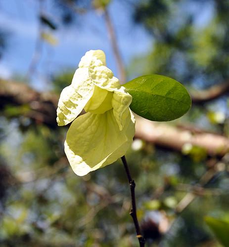 floridanativewildflower floridanativeplant southfloridastatecollege avonpark