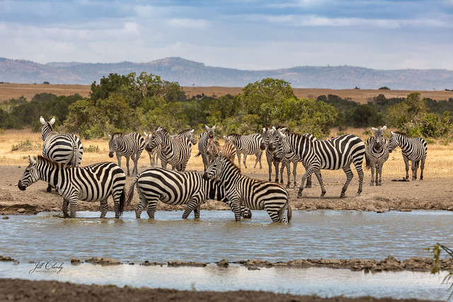 A Dazzle of Zebras at the Watering Hole