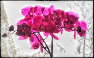 MBa19-10 Backlit Orchid | by MikeBarkerf8