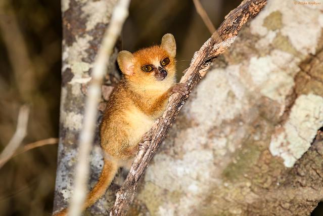 Madame Berthe's Mouse Lemur (Microcebus berthae)
