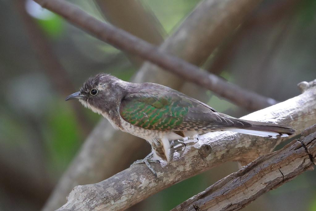 Klaas's Cuckoo  Chrysococcyx klaas