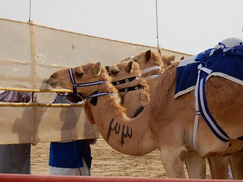 Al Marmoom Camel Racing Track - 12