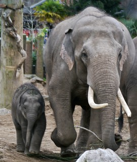 ELEPHANTS - FATHER AND CHILD - CHESTER ZOO