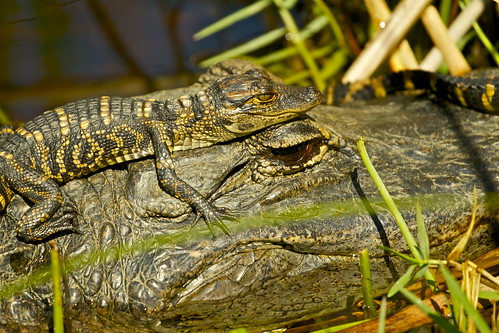 AMERICAN ALLIGATOR | by tony.cox27