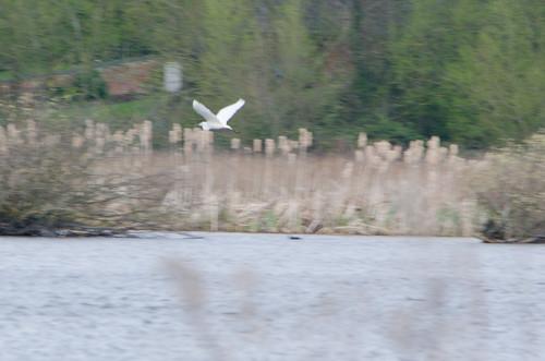 Great white egret heading off