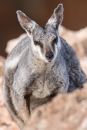 Black-footed Rock Wallaby | by steve happ