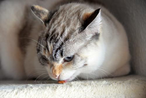 Aruba, gata cruce siamesa dulzona y muy guapa esterilizada, nacida en Agosto´17, en adopción. Valencia.  31534552017_c015510813
