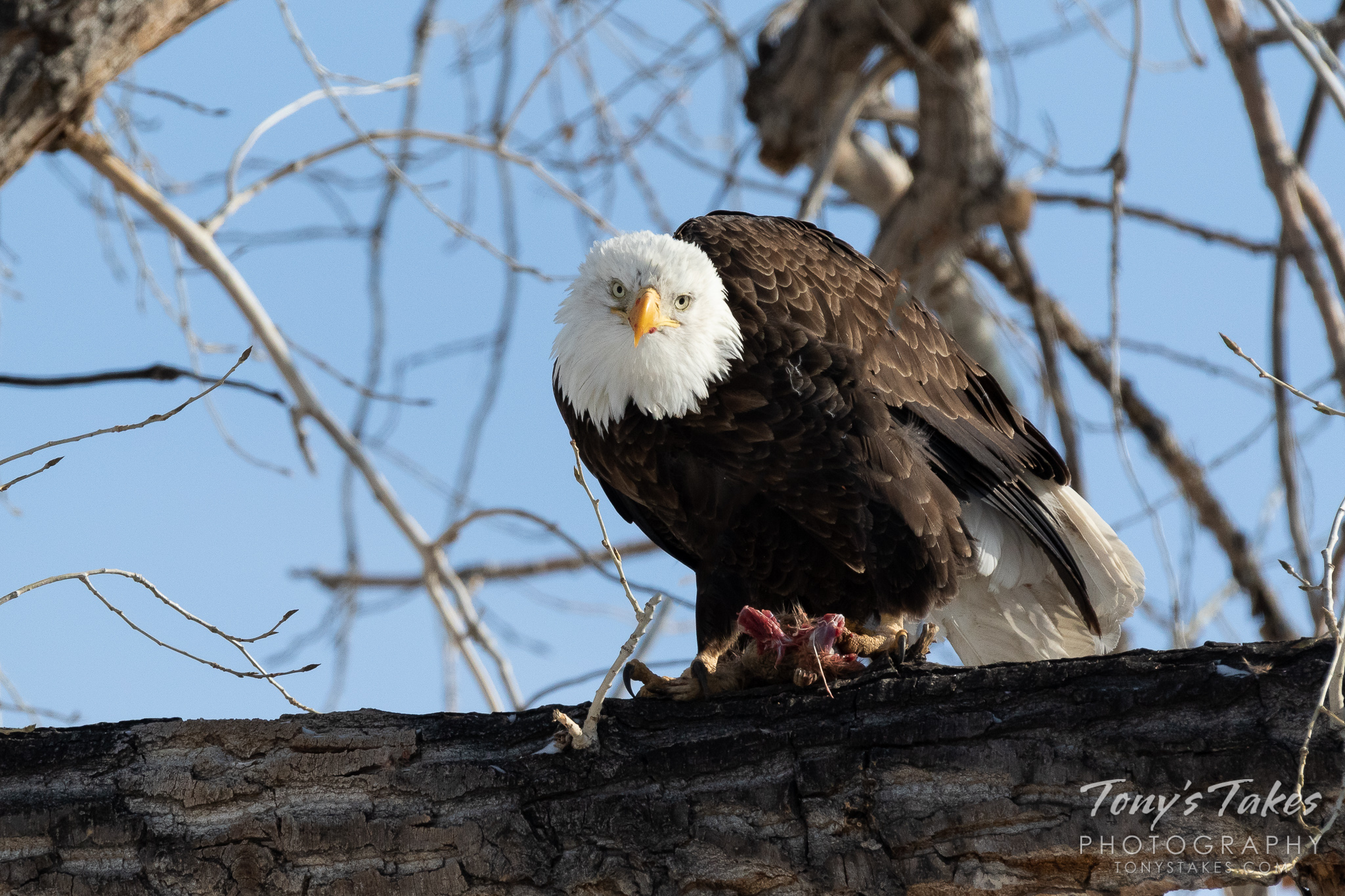 Bald eagle enjoys its New Year's Day meal